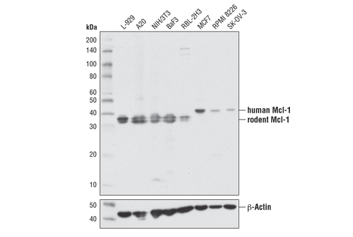 Western blot analysis of extracts from various cell lines using Mcl-1 (D2W9E) Rabbit mAb (upper) or β-Actin (D6A8) Rabbit mAb #8457 (lower).
