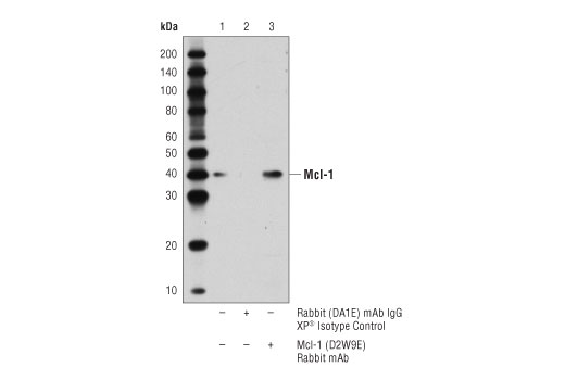 Immunoprecipitation of Mcl-1 from MCF7 cell extracts. Lane 1 is 10% input, lane 2 is Rabbit (DA1E) mAb IgG XP<sup>®</sup> Isotype Control #3900, and lane 3 is Mcl-1 (D2W9E) Rabbit mAb. Western blot analysis was performed using Mcl-1 (D2W9E) Rabbit mAb. A conformation-specific secondary antibody was used to avoid cross-reactivity with IgG.