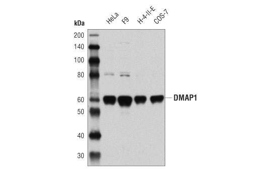 Western blot analysis of extracts from various cell lines using DMAP1 (D4O2G) Rabbit mAb.
