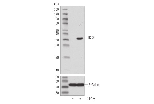 Western blot analysis of extracts from HeLa cells, untreated (-) or treated with Human Interferon-γ (hIFN-γ) #8901 (50 ng/ml, 16 hr; +), using IDO (D5J4E™) Rabbit mAb (upper) or β-Actin (D6A8) Rabbit mAb #8457 (lower).