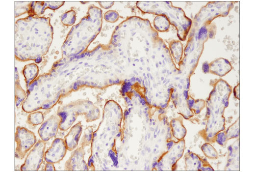 Immunohistochemical analysis of parffin-embedded human placenta using PD-L1 (405.9A11) Mouse mAb.
