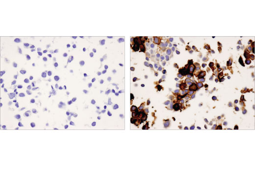 Immunohistochemical analysis of paraffin-embedded 293 cell pellets, control (left) or PD-1 transfected (right), using PD-1 (EH33) Mouse mAb (IHC-Specific).