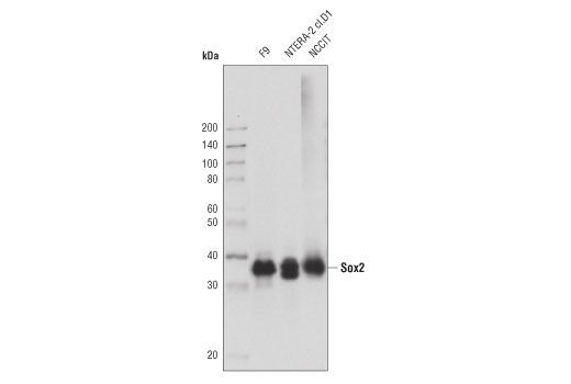 Western blot analysis of extracts from various cell lines, using Sox2 (D9B8N) Rabbit mAb.
