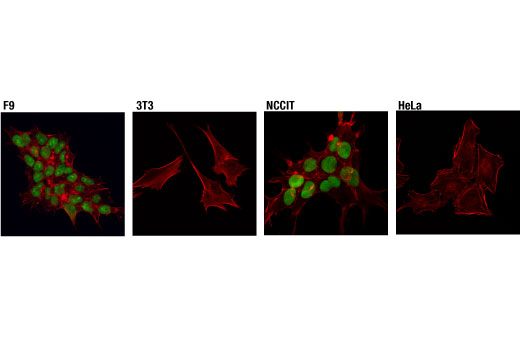 Confocal immunofluorescent analysis of F9 (left), 3T3 (middle left), NCCIT (middle right), or HeLa (right) cells using Sox2 (D9B8N) Rabbit mAb (green). Actin filaments were labeled with DyLight™ 554 Phalloidin #13054 (red).