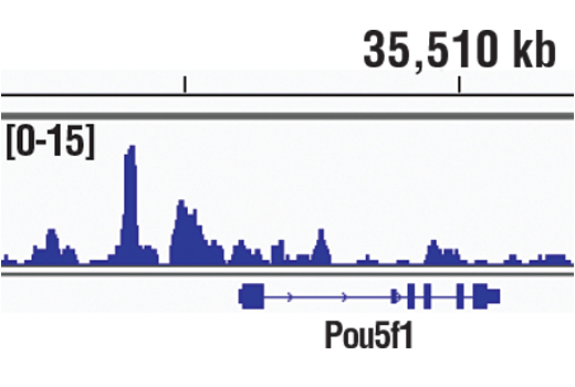 Chromatin immunoprecipitations were performed with cross-linked chromatin from mES cells and Sox2 (D9B8N) Rabbit mAb, using SimpleChIP<sup>®</sup> Enzymatic Chromatin IP Kit (Magnetic Beads) #9005. DNA Libraries were prepared using SimpleChIP<sup>®</sup> ChIP-seq DNA Library Prep Kit for Illumina<sup>®</sup> #56795. The figure shows binding across POU5F1/OCT4, a known target gene of Sox2 (see additional figure containing ChIP-qPCR data). For additional ChIP-seq tracks, please download the product data sheet.