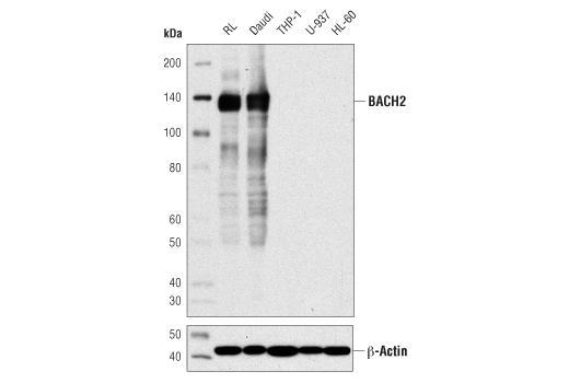 Monoclonal Antibody - BACH2 (D3T3G) Rabbit mAb, UniProt ID Q9BYV9, Entrez ID 60468 #80775 - Primary Antibodies