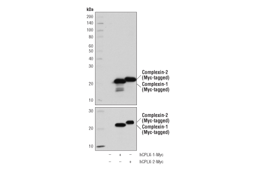 Western blot analysis of extracts from 293T cells, mock transfected (-) or transfected with a construct expressing Myc-tagged full-length human complexin-1 (hCPLX-1-Myc; +) or complexin-2 (hCPLX-2-Myc; +), using Complexin-1/2 (D8A6E) Rabbit mAb (upper), and Myc-Tag (71D10) Rabbit mAb #2278 (lower).