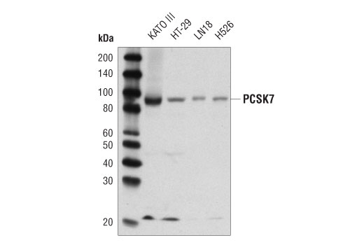 Western blot analysis of extracts from various cell lines using PCSK7 (D4I5G) Rabbit mAb.