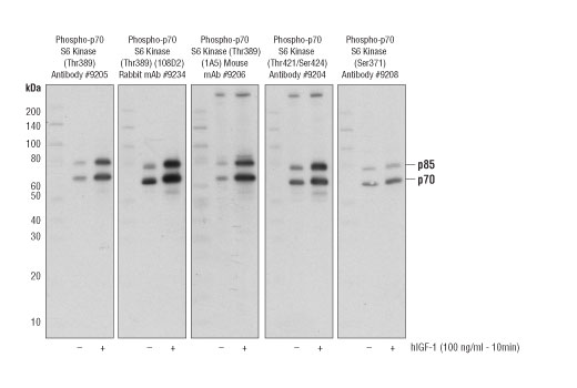 Cell Extract Kit - p70 S6 Kinase MCF7 Control Cell Extracts - Western Blotting - 100 µl #34499 - Pi3k / Akt Signaling