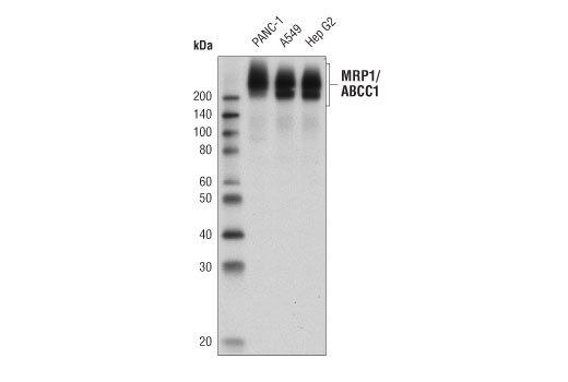Western blot analysis of extracts from PANC-1, A549, and Hep G2 cells using MRP1/ABCC1 (D5C1X) Rabbit mAb.