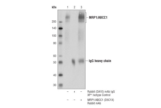 Immunoprecipitation of MRP1/ABCC1 from Hep G2 cell extracts. Lane 1 is 10% input, lane 2 is Rabbit (DA1E) mAb IgG XP<sup>®</sup> Isotype Control #3900, and lane 3 is MRP1/ABCC1 (D5C1X) Rabbit mAb. Western blot analysis was performed using MRP1/ABCC1 (D5C1X) Rabbit mAb.