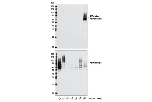 Western blot analysis of seven distinct recombinant polyubiquitin chains (300 ng each) using K63-linkage Specific Polyubiquitin (D7A11) Rabbit mAb #5621 (upper) and Ubiquitin Antibody #3933 (lower).