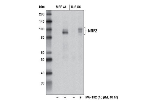 Western blot analysis of extracts from MEF wt and U-2 OS cells, untreated (-) or treated with MG-132 #2194 (10 μM, 10 hr; +), using NRF2 (D1Z9C) XP<sup>® </sup>Rabbit mAb #12721.