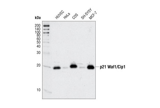 Western blot analysis of extracts from various cell types using <b>p21 Waf1/Cip1 (12D1) Rabbit mAb #2947</b>.