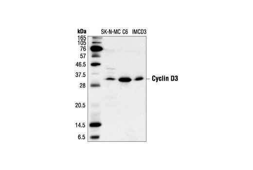 Western blot analysis of extracts from SK-N-MC, C6 and IMCD3 cells, using <b>Cyclin D3 (DCS22) Mouse mAb #2936</b>.