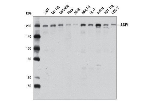 Western blot analysis of extracts from 293 and COS cells, using p53 (7F5) Rabbit mAb #2527.