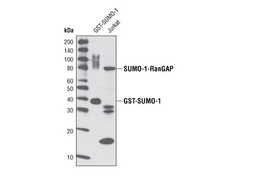 Western blot analysis of recombinant GST-SUMO-1 protein (38 kDa) and extracts from Jurkat cells using SUMO-1 (C9H1) Rabbit mAb #4940.