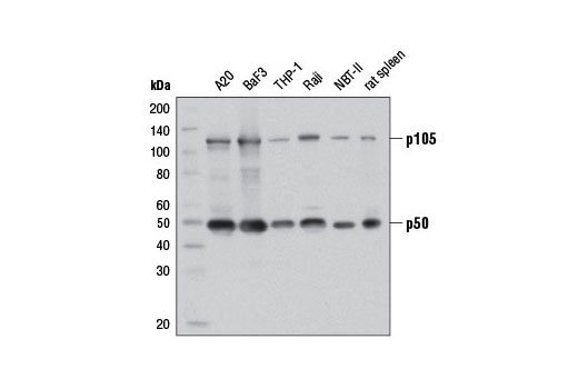Western blot analysis of extracts from various cell lines and rat spleen using NF-κB1 p105/p50 (D4P4D) Rabbit mAb #13586.