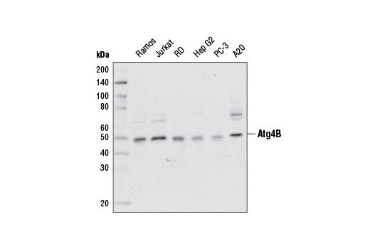 Western blot analysis of extracts from various cell lines using Atg4B (D1G2R) Rabbit mAb #13507.