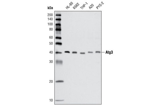 Western blot analysis of extracts from various cell lines using Atg3 Antibody #3415.