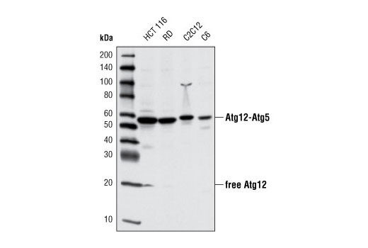 Western blot analysis of extracts from various cell lines using Atg12 (D88H11) Rabbit mAb #4180.