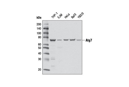 Western blot analysis of extracts from various cell lines using Atg7 (D12B11) Rabbit mAb #8558.