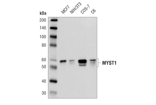Western blot analysis of extracts from various cell lines using MYST1 (D5T3R) Rabbit mAb.