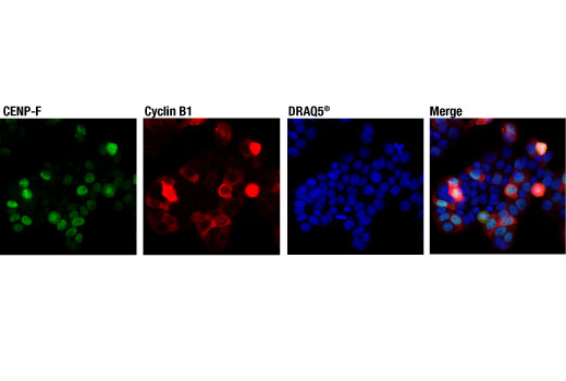 Confocal immunofluorescent analysis of HT-29 cells using CENP-F (D6X4L) Rabbit mAb (green) and a Cyclin B1 antibody (red). Blue pseudocolor = DRAQ5<sup>® </sup>#4084 (fluorescent DNA dye).