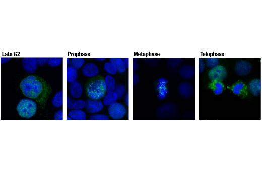 Confocal immunofluorescent analysis of HT-29 cells at various stages of mitosis using CENP-F (D6X4L) Rabbit mAb (green). Blue pseudocolor = DRAQ5<sup>® </sup>#4084 (fluorescent DNA dye).