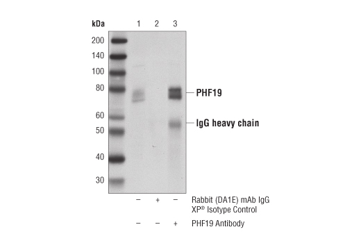 Immunoprecipitation of PHF19 from K-562 cell extracts. Lane 1 is 10% input, lane 2 is Rabbit (DA1E) mAb IgG XP<sup>®</sup> Isotype Control #3900, and lane 3 is PHF19 Antibody. Western blot analysis was performed using PHF19 Antibody.