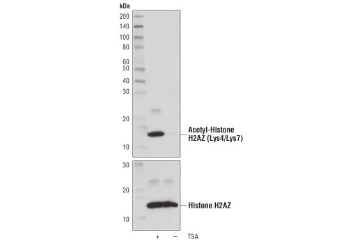 Western blot analysis of extracts from HeLa cells, untreated (-) or treated (+) with Trichostatin A (TSA) #9950 (1 μM, 18 hr), using Acetyl-Histone H2AZ (Lys4/Lys7) Rabbit mAb (upper) or Histone H2AZ Antibody #2718 (lower).
