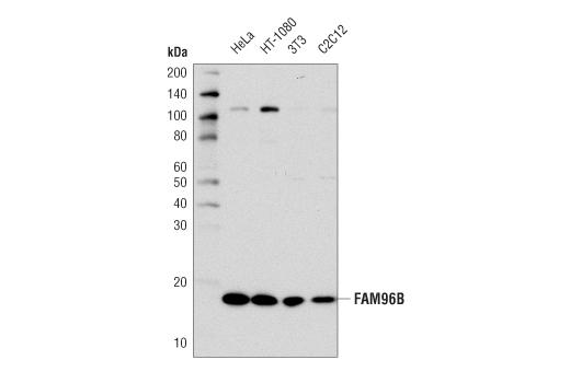 Monoclonal Antibody - FAM96B (D4V9Z) Rabbit mAb - Western Blotting, UniProt ID Q9Y3D0, Entrez ID 51647 #86302 - #86302