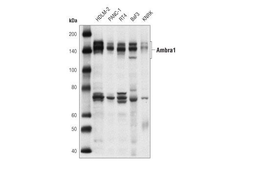 Polyclonal Antibody - Ambra1 Antibody - Western Blotting, UniProt ID Q9C0C7, Entrez ID 55626 #24907 - Autophagy