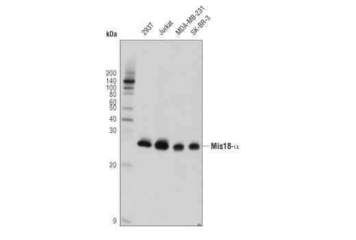 Monoclonal Antibody - Mis18-α (D3N2X) Rabbit mAb - Western Blotting, UniProt ID Q9NYP9, Entrez ID 54069 #69625 - Cell Cycle / Checkpoint Control