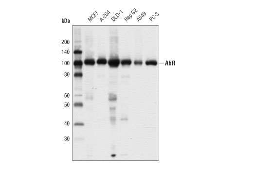 Western blot analysis of extracts from various cell lines using AhR (D5S6H) Rabbit mAb.