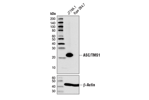 Western blot analysis of extracts from J774A.1 and Raw 264.7 cells using ASC/TMS1 (D2W8U) Rabbit mAb (Mouse Specific) (upper) or β-Actin (D6A8) Rabbit mAb #8457 (lower).