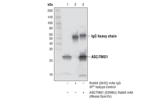 Immunoprecipitation of ASC/TMS1 from J774A.1 cell extracts. Lane 1 is 10% input, lane 2 is Rabbit (DA1E) mAb IgG XP<sup>®</sup> Isotype Control #3900, and lane 3 is ASC (D2W8U) Rabbit mAb (Mouse Specific). Western blot analysis was performed using ASC/TMS1 (D2W8U) Rabbit mAb (Mouse Specific).