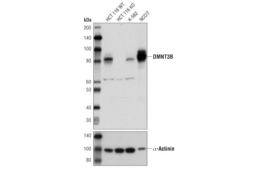 Western blot analysis of extracts from HCT 116 DNMT3B wild-type (HCT 116 WT), HCT 116 DNMT3B knockout (HCT 116 KO), K-562, and NCCIT cells, using DNMT3B (D7O7O) Rabbit mAb (upper) or α-Actinin (D6F6) XP<sup>®</sup> Rabbit mAb #6487 (lower).