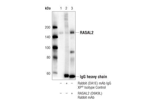 Immunoprecipitation of RASAL2 from MDA-MB-231 cell extracts. Lane 1 is 10% input, lane 2 is Rabbit (DA1E) mAb IgG XP<sup>®</sup>Isotype Control #3900, and lane 3 is RASAL2 (D6K9L) Rabbit mAb. Western blot analysis was performed using</p><p>RASAL2 (D6K9L) Rabbit mAb.