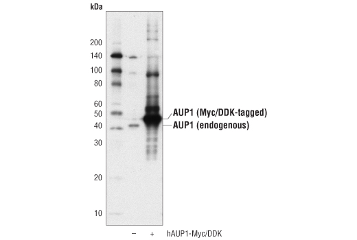 Western blot analysis of extracts from 293T cells, mock transfected (-) or transfected with a construct expressing Myc/DDK-tagged full-length human AUP1 protein, short isoform (hAUP1-Myc/DDK; +), using AUP1 Antibody.