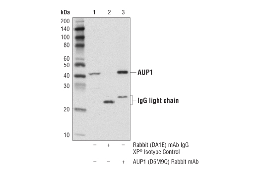 Immunoprecipitation of AUP1 from 293T cell extracts. Lane 1 is 10% input, lane 2 is Rabbit (DA1E) mAb IgG XP® Isotype Control #3900, and lane 3 is AUP1 (D5M9Q) Rabbit mAb. Western blot analysis was performed using AUP1 (D5M9Q) Rabbit mAb. Anti-Rabbit HRP-conjugated light chain-specific secondary antibody was used for detection.