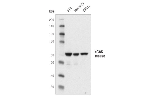 Western blot analysis of extracts from 3T3, Neuro-2a, and C2C12 cells using cGAS (D3O8O) Rabbit mAb (Mouse Specific).