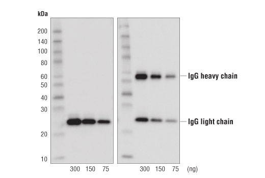 Western Blotting Image 2: Rabbit Anti-Mouse IgG (Light Chain Specific) (D3V2A) mAb (HRP Conjugate)