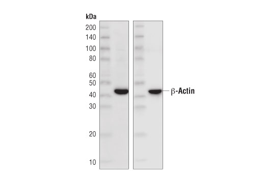 Secondary Antibody - Rabbit Anti-Mouse IgG (Light Chain Specific) (D3V2A) mAb (HRP Conjugate) - 100 µl #58802, Companion Products