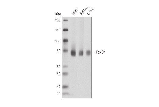 Western blot analysis of extracts from 293T, IGROV-1, and COS-7 cells using FoxO1 (D8T1S) Mouse mAb.