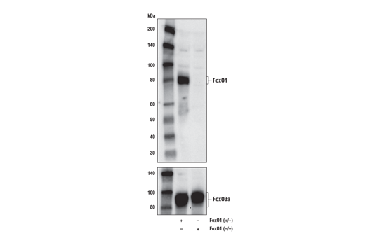 Western blot analysis of extracts from 293T cells, either wild type (+/+) or FoxO1 knock-out (-/-), using FoxO1 (D8T1S) Mouse mAb (upper) and FoxO3a (75D8) Rabbit mAb #2497 (lower).