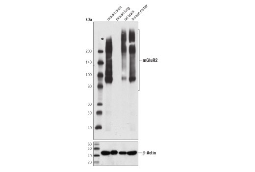 Western blot analysis of extracts from various tissues using mGluR2 (D7D8M) Rabbit mAb (upper) and β-Actin (D6A8) Rabbit mAb #8457 (lower).