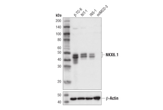 Western blot analysis of extracts from various cell lines using NKX6.1 (D8O4R) Rabbit mAb (upper) and β-Actin (D6A8) Rabbit mAb #8457 (lower).