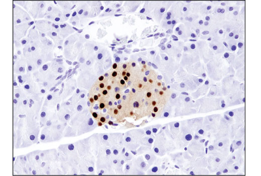 Immunohistochemical analysis of paraffin-embedded mouse pancreas using NKX6.1 (D8O4R) Rabbit mAb.