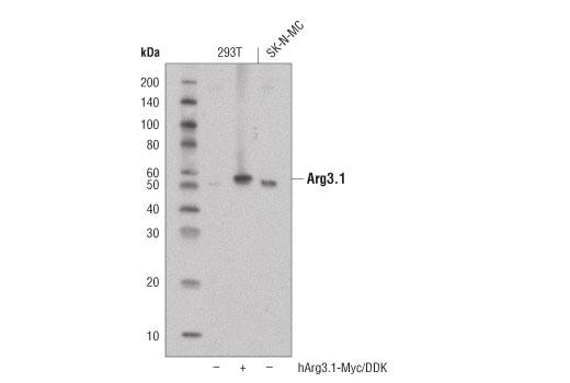 Monoclonal Antibody - Arg3.1 (D6H9N) Rabbit mAb - Western Blotting, UniProt ID Q7LC44, Entrez ID 23237 #65650 - #65650